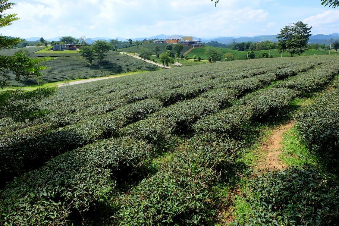green, plantation, tea