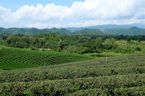 林場, 泰國, 綠色, 茶 的 免费素材照片