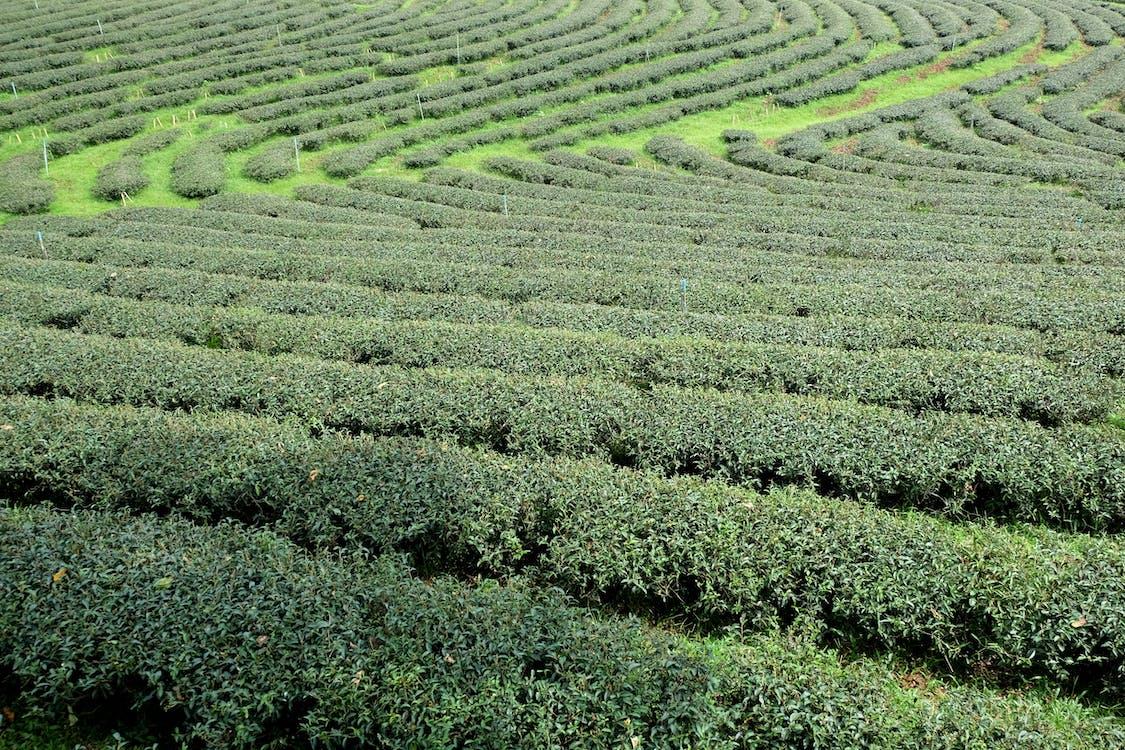 plantaasi, tee, thaimaa