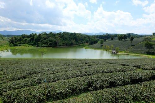 Fotos de stock gratuitas de plantación, Tailandia, té, verde
