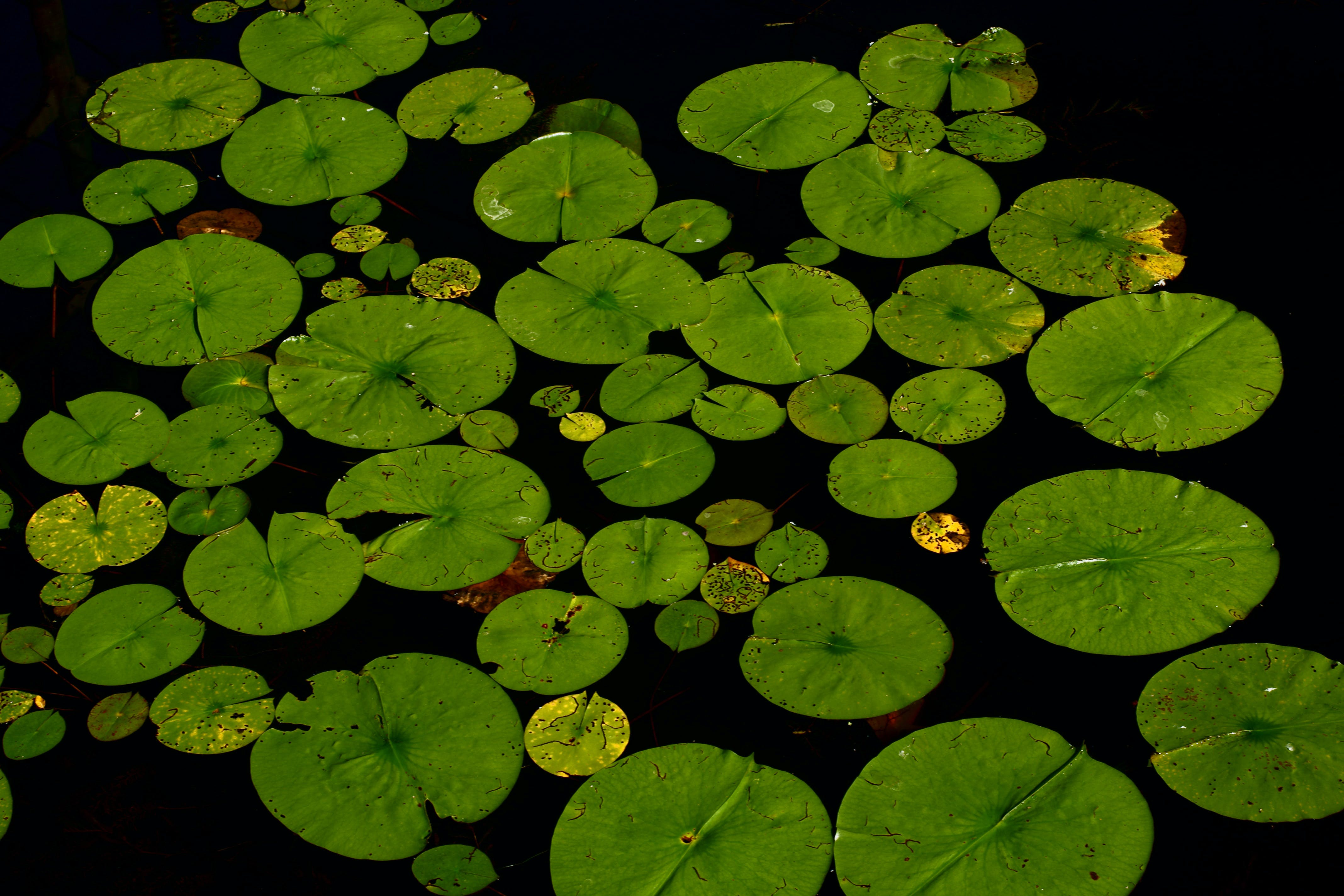 Lily Lot