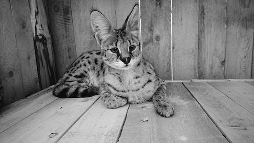 Fotos de stock gratuitas de animal, blanco y negro, gato