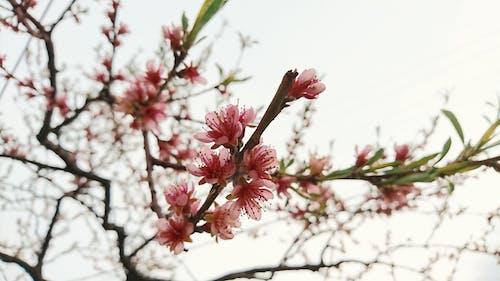 Безкоштовне стокове фото на тему «дерево, квіти, персик»