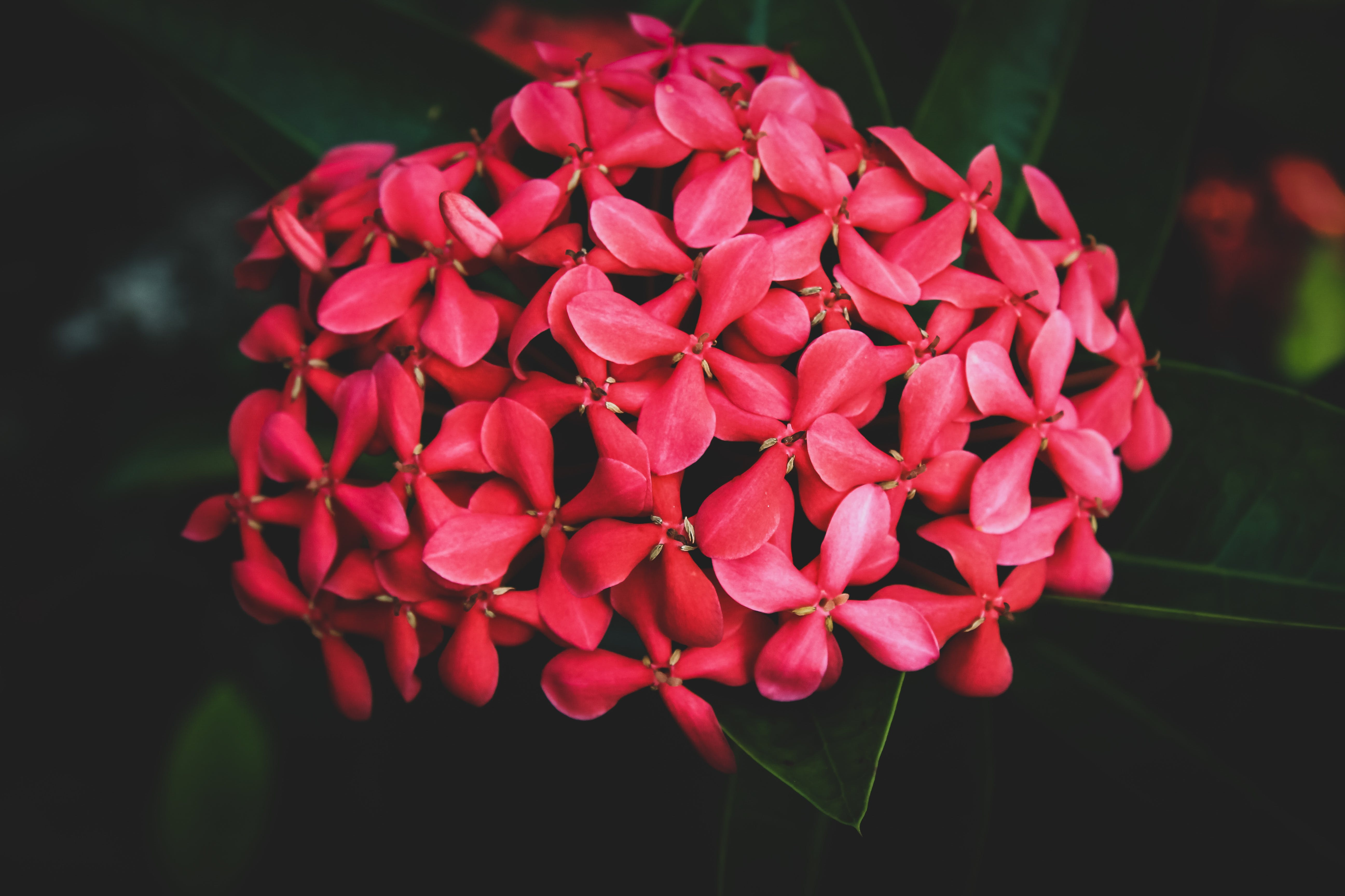 Free stock photo of android wallpaper, beautiful flowers, beauty, blur