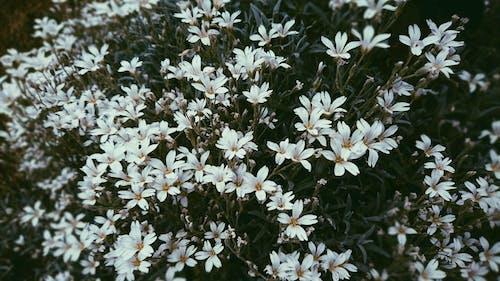 Fotos de stock gratuitas de blanco, flores, naturaleza
