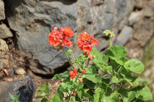 Free stock photo of flores, flowers, red, Vermelho
