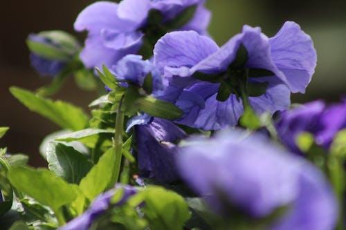 Free stock photo of flor, violeta