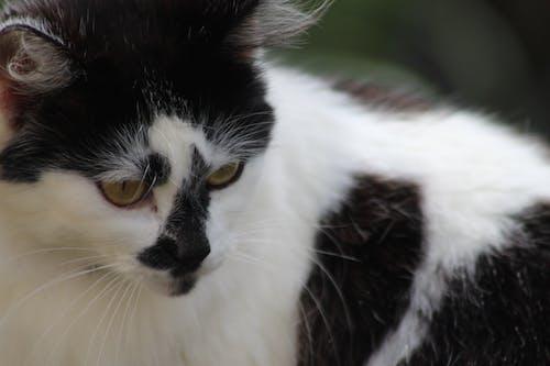 Free stock photo of cat, gato, Preto e branco