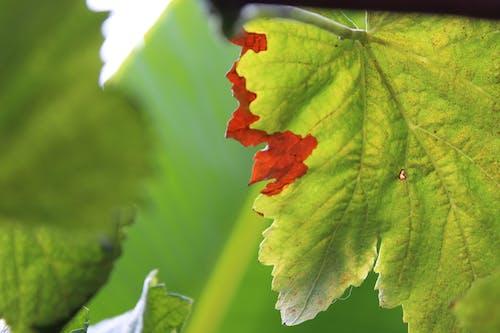 Free stock photo of folha, grapes, uvas, videira