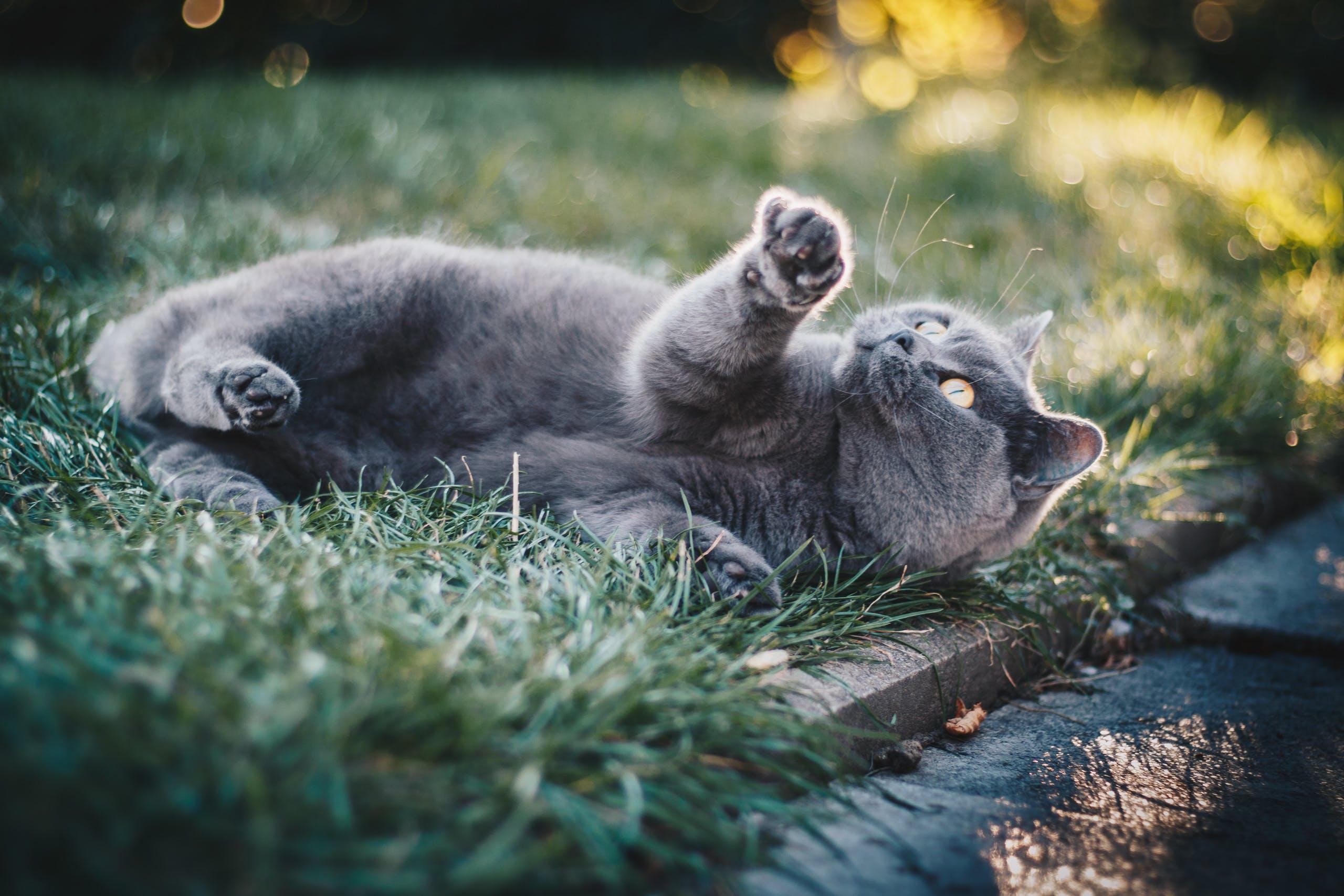 Short-furred Gray Cat on Green Grass