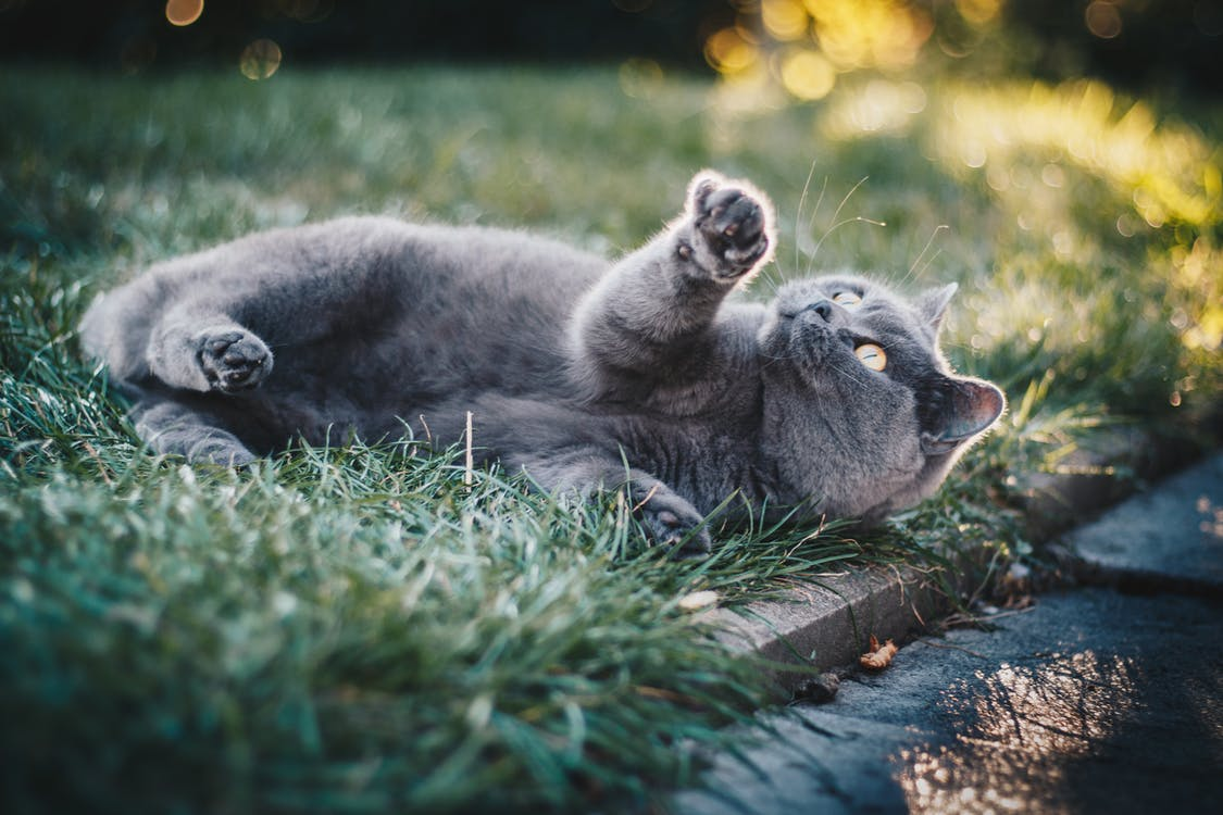 Short-furred Gray Cat on Green Grass