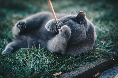 Photo of Russian Blue Cat Playing with Brown Wooden Stick While Lying on Grass