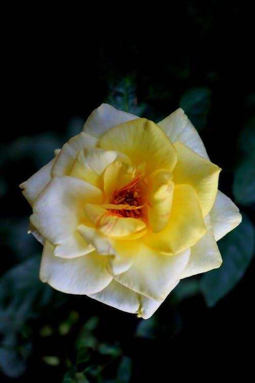Foto profissional grátis de □ gentil, amarelo, aroma