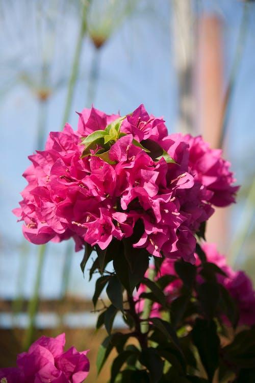 Gratis stockfoto met broeikas, fabriek, natuur, roze bloemen