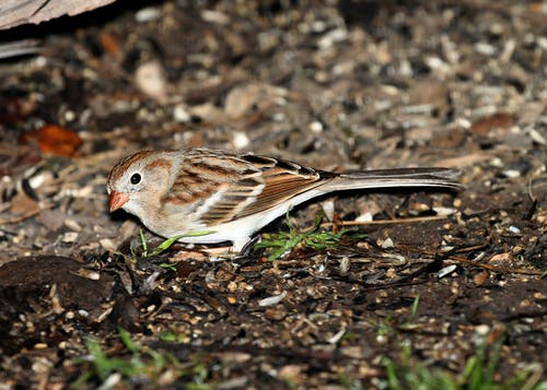 Brown and White Small Bird