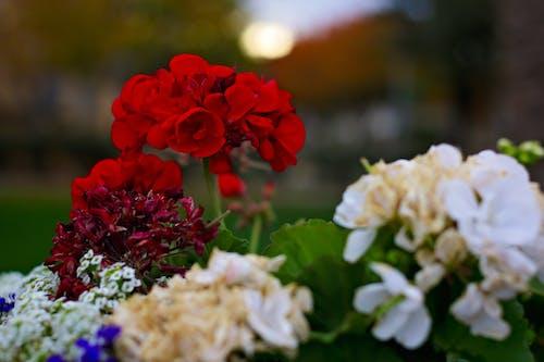Imagine de stoc gratuită din alb, flori, roșu, verde