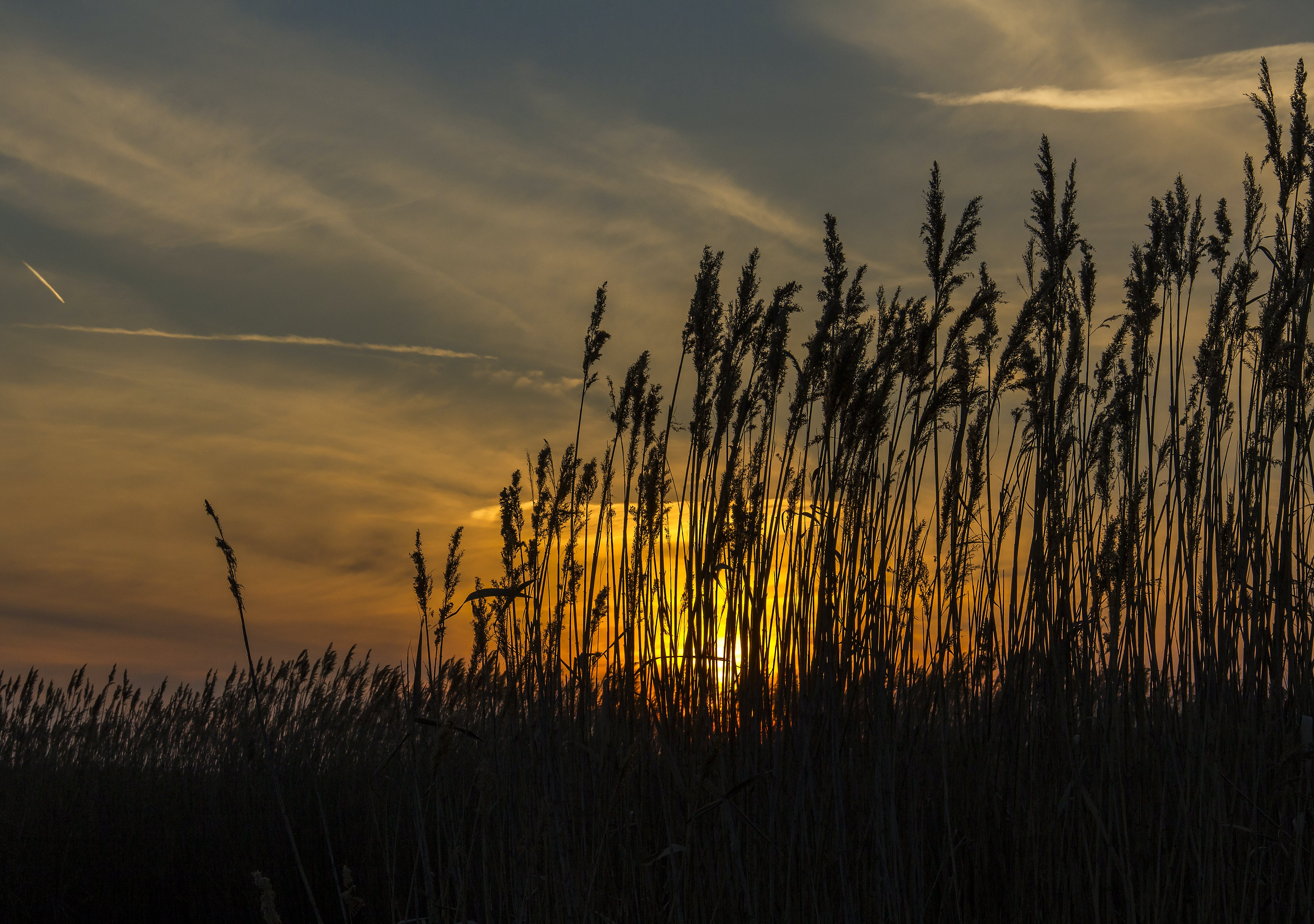 Free stock photo of golden sunset, nature, reed, silhouette