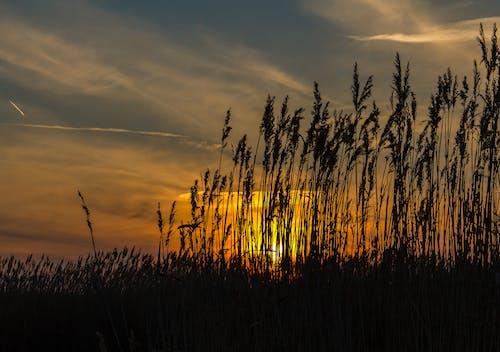 Foto stok gratis alam, buluh, matahari terbenam, musim panas