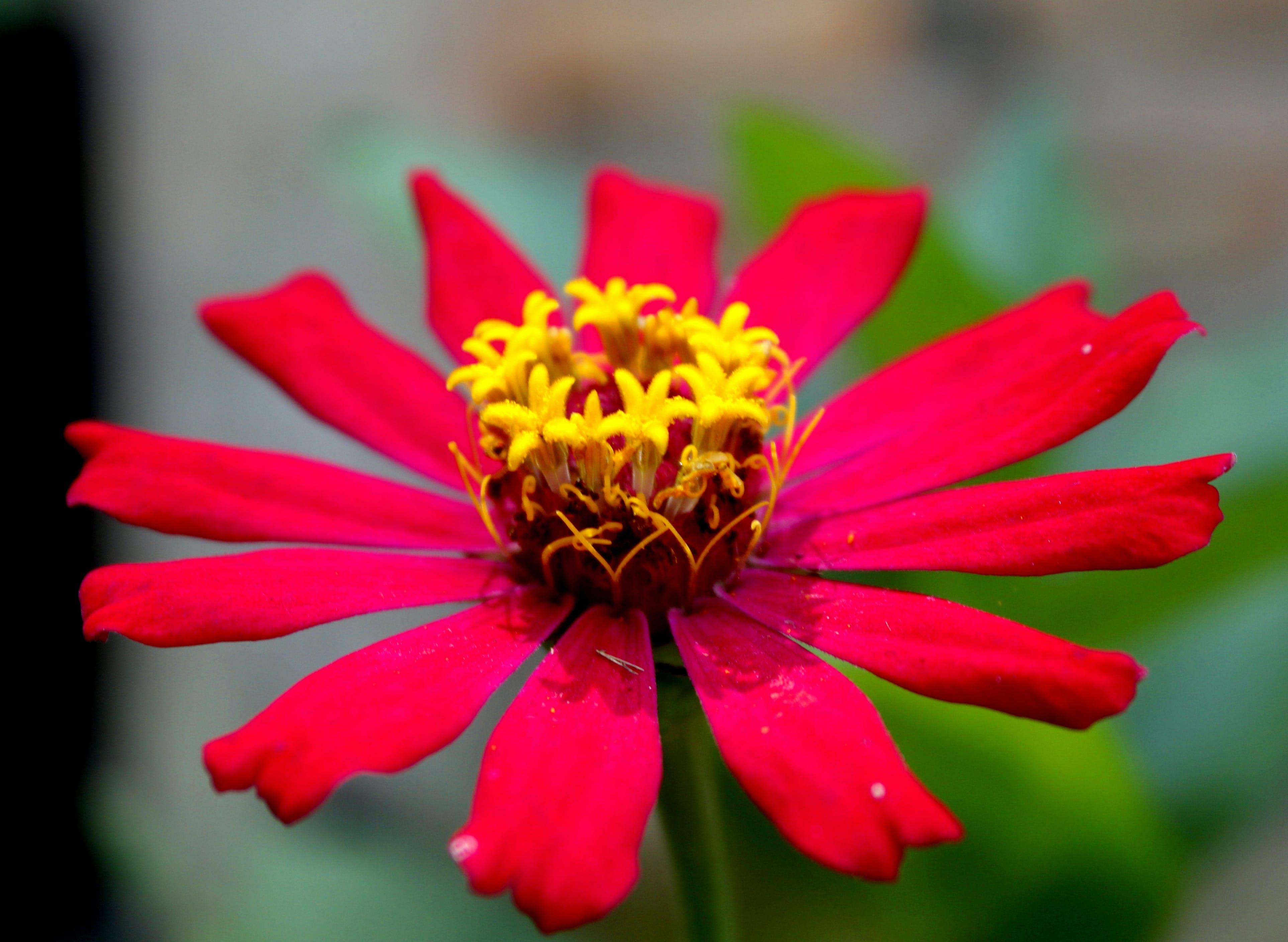 Free stock photo of flower, macro photography, redflower