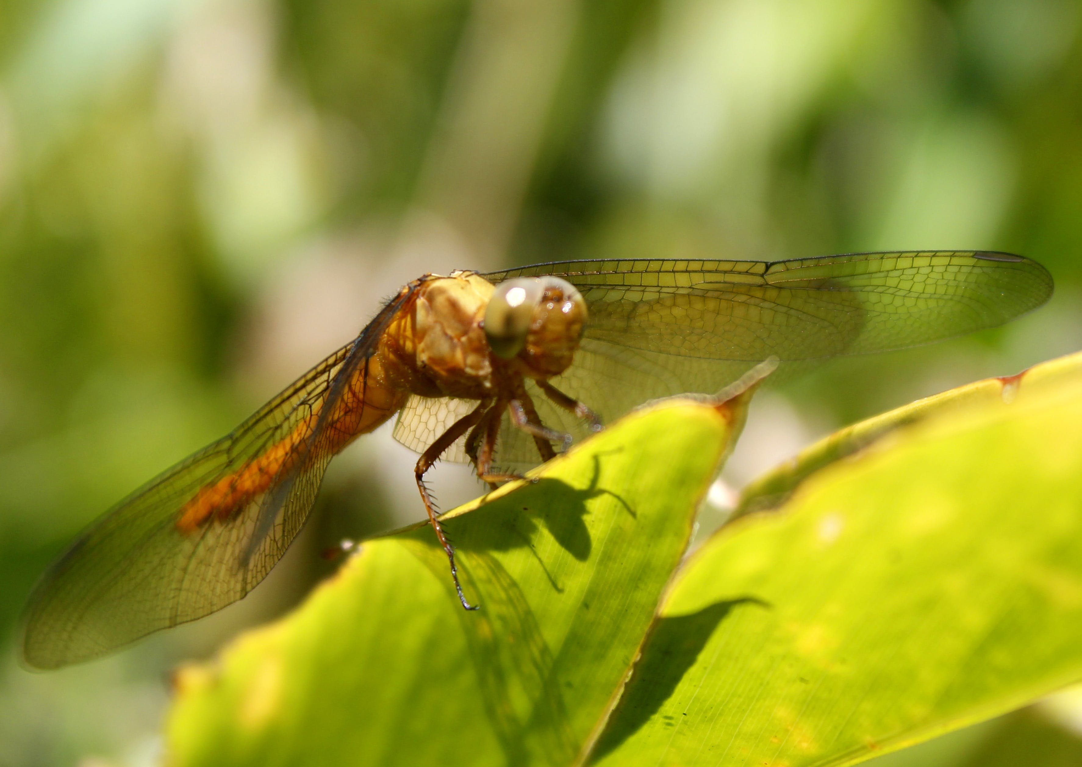 Free stock photo of dragonflies, dragonfly, dragonflywing, macro