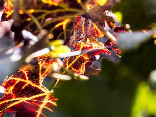 asma yaprağı, bağcılık, doğa, egemen blaga içeren Ücretsiz stok fotoğraf