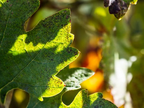 Free stock photo of domeniile blaga, grape plant, harvest, macro