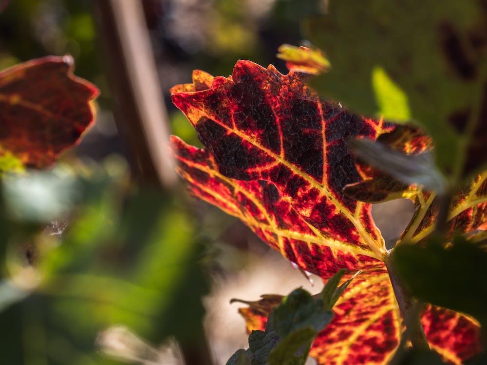asma yaprağı, bağcılık, doğa