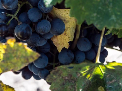 Free stock photo of Cabernet, cabernet franc, domeniile blaga, grape plant
