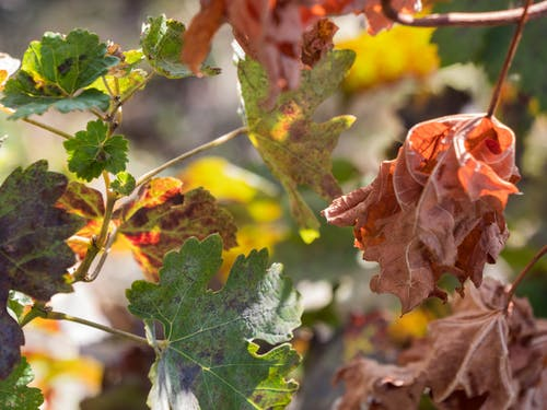 Free stock photo of domeniile blaga, grape plant, harvest, leafs