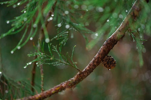 Green Pine Branch in Selective-focus Photography