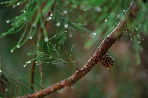 Foto profissional grátis de abeto, agulhas, árvore, borrão
