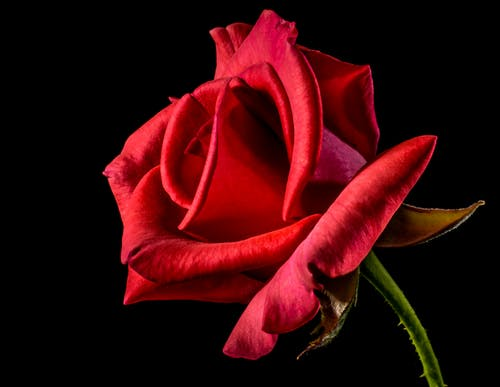 Shallow Focus Photography of Red Rose