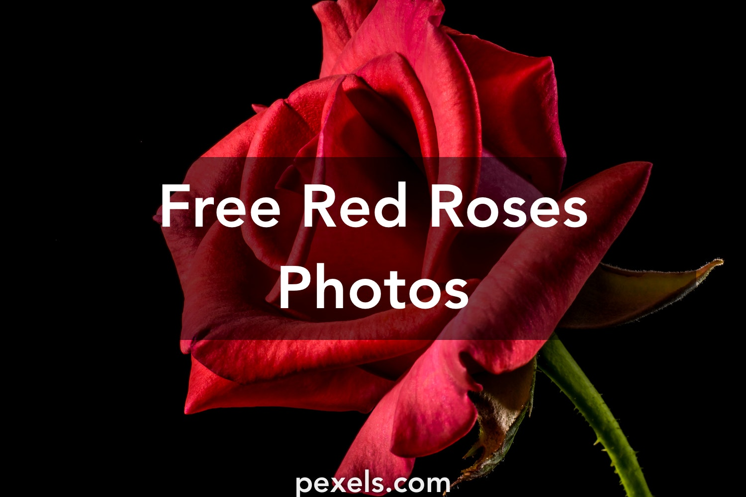 red roses pexels free stock photos