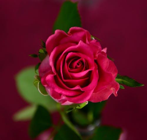 Kostnadsfri bild av blomma, röda rosor, rosor