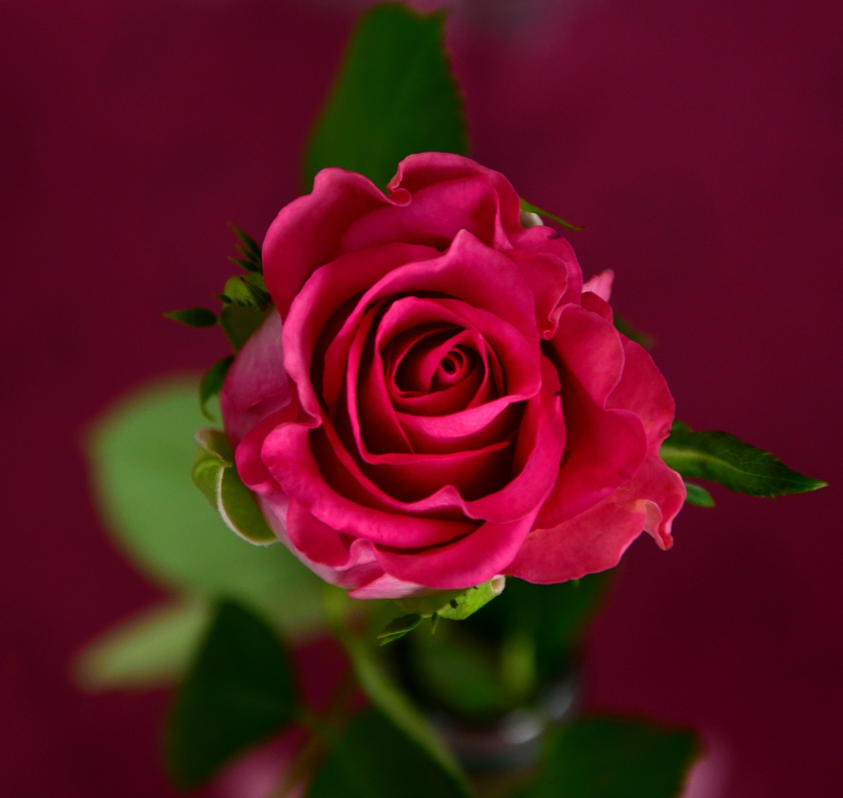 New red rose flower photo download