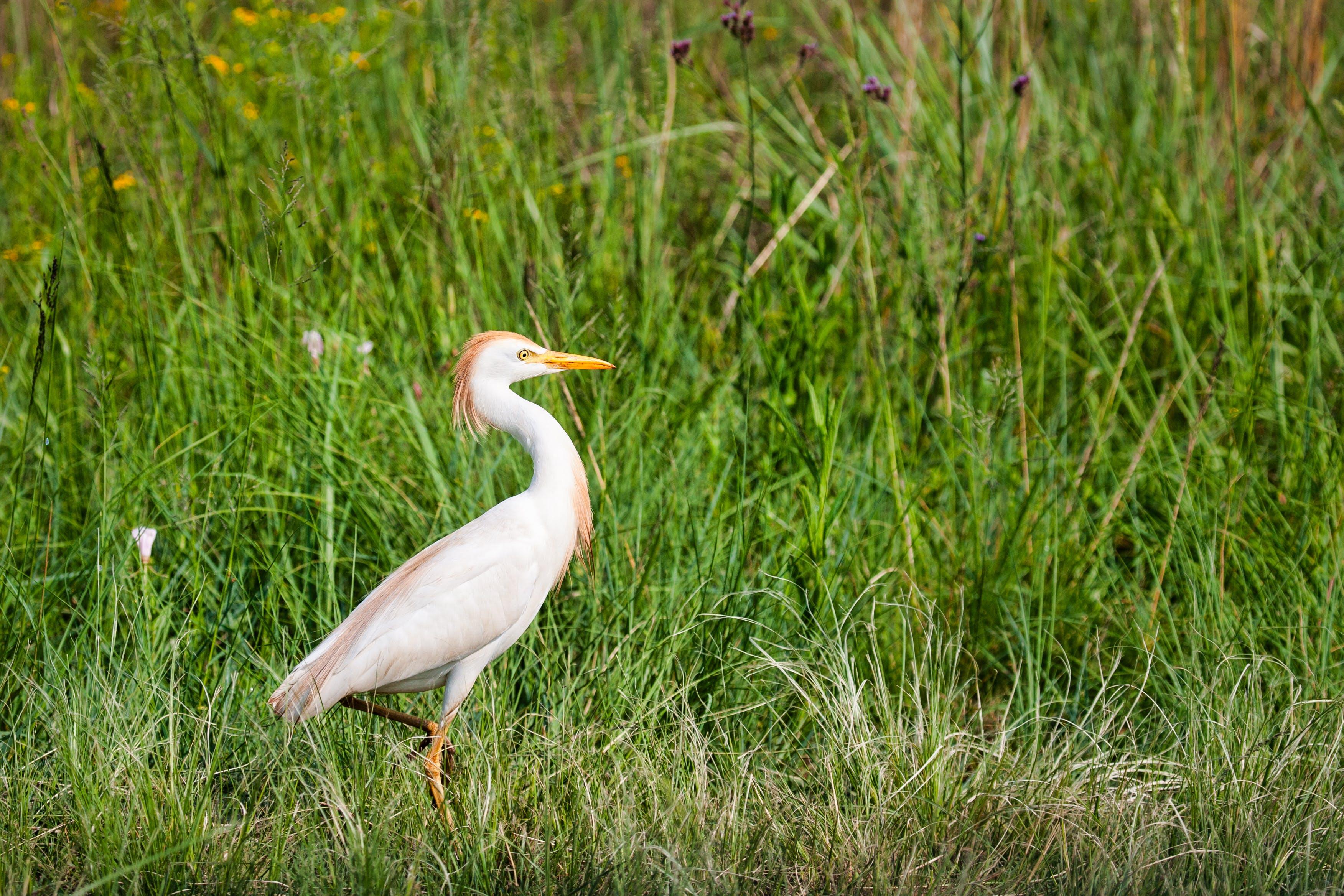 백로, 아름다운, 야생동물, 잔디의 무료 스톡 사진