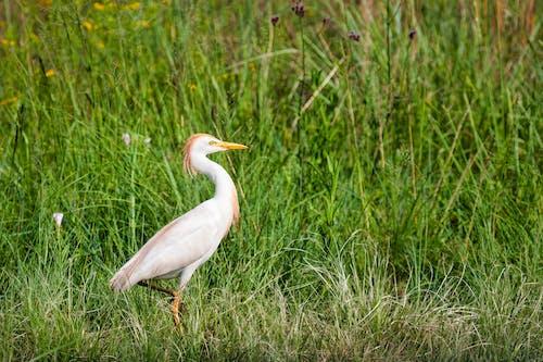 คลังภาพถ่ายฟรี ของ กลางวัน, นกกระยาง, นกกระยางทอง, นกสีขาว