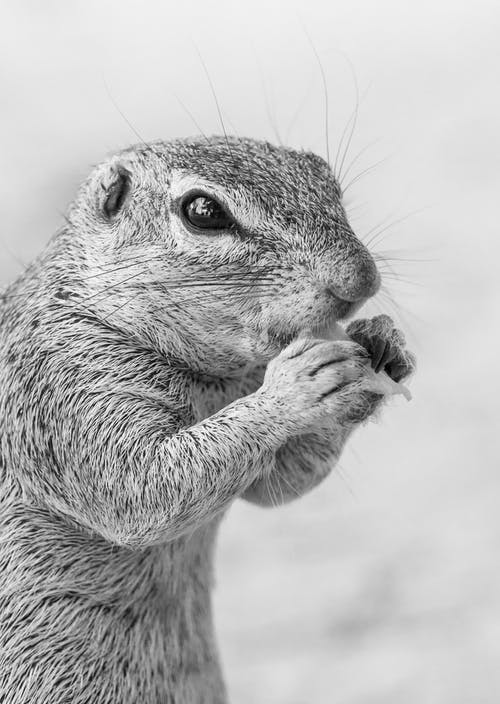 Grayscale Photo of Rodent
