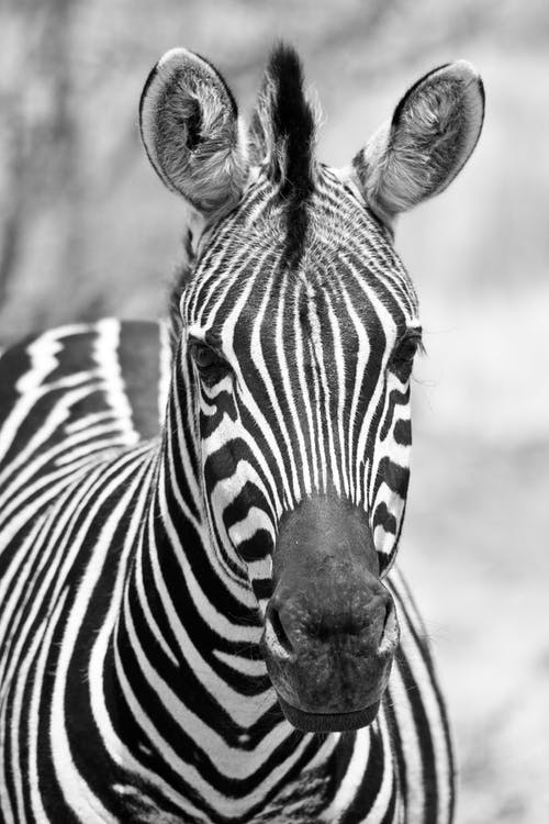 Grayscale Photo of Zebra