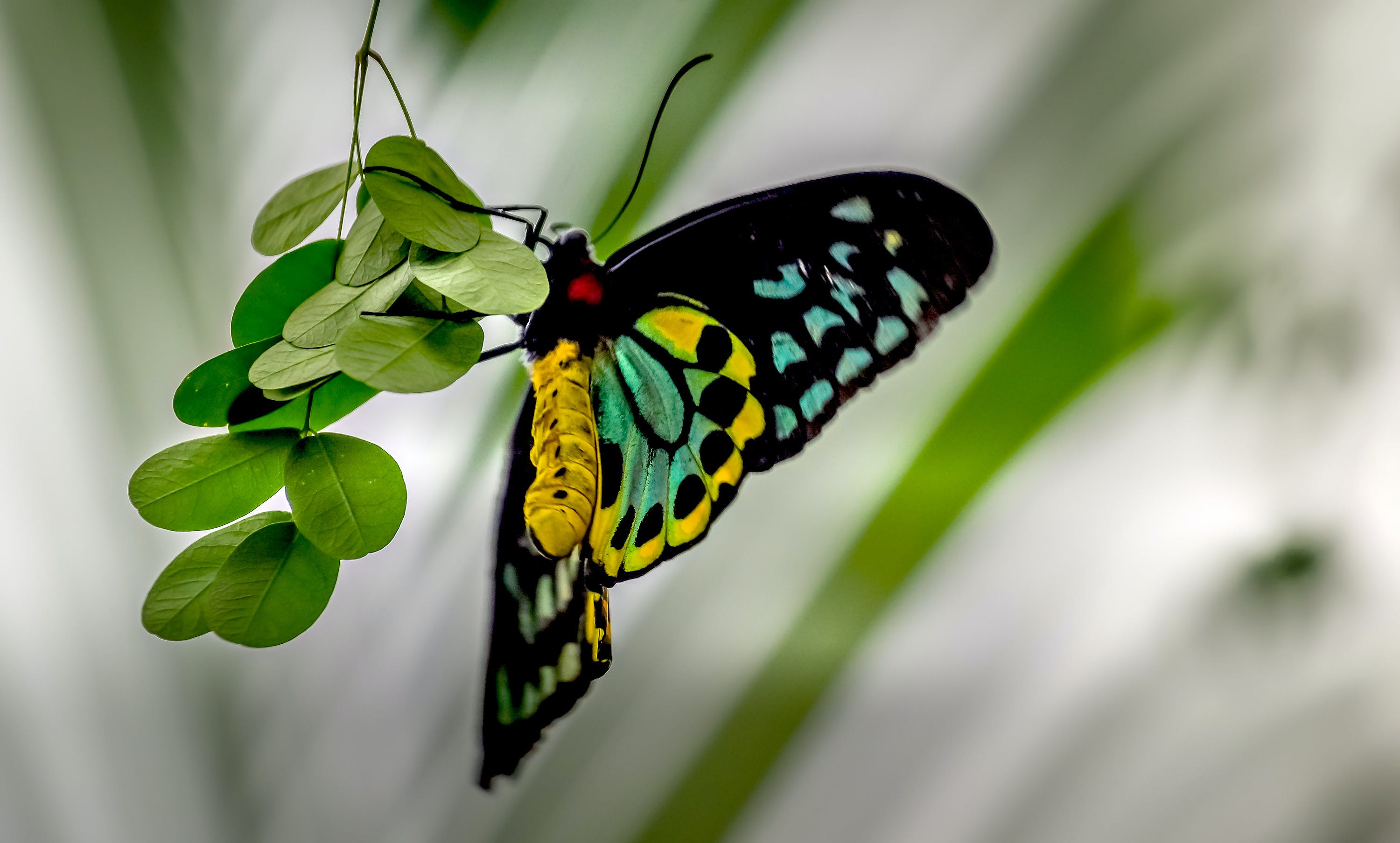 Cairns Birdwing Butterfly Perching on Green Leaf in Selective-focus Photography