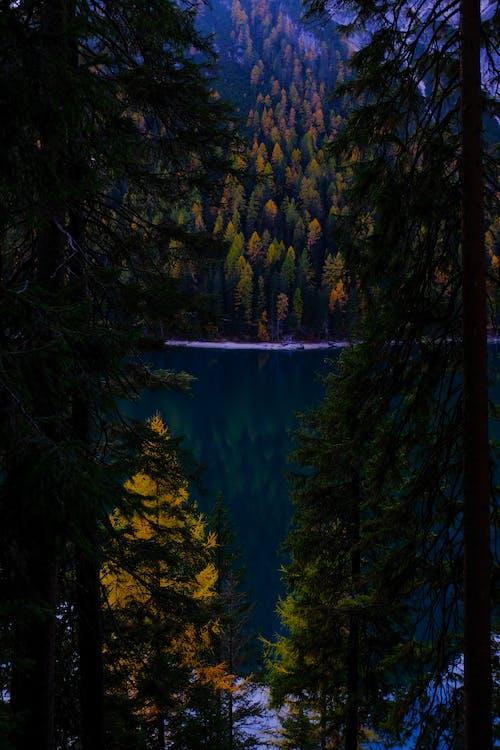 คลังภาพถ่ายฟรี ของ กลางวัน, ต้นสน, ต้นไม้, ตอนเย็น