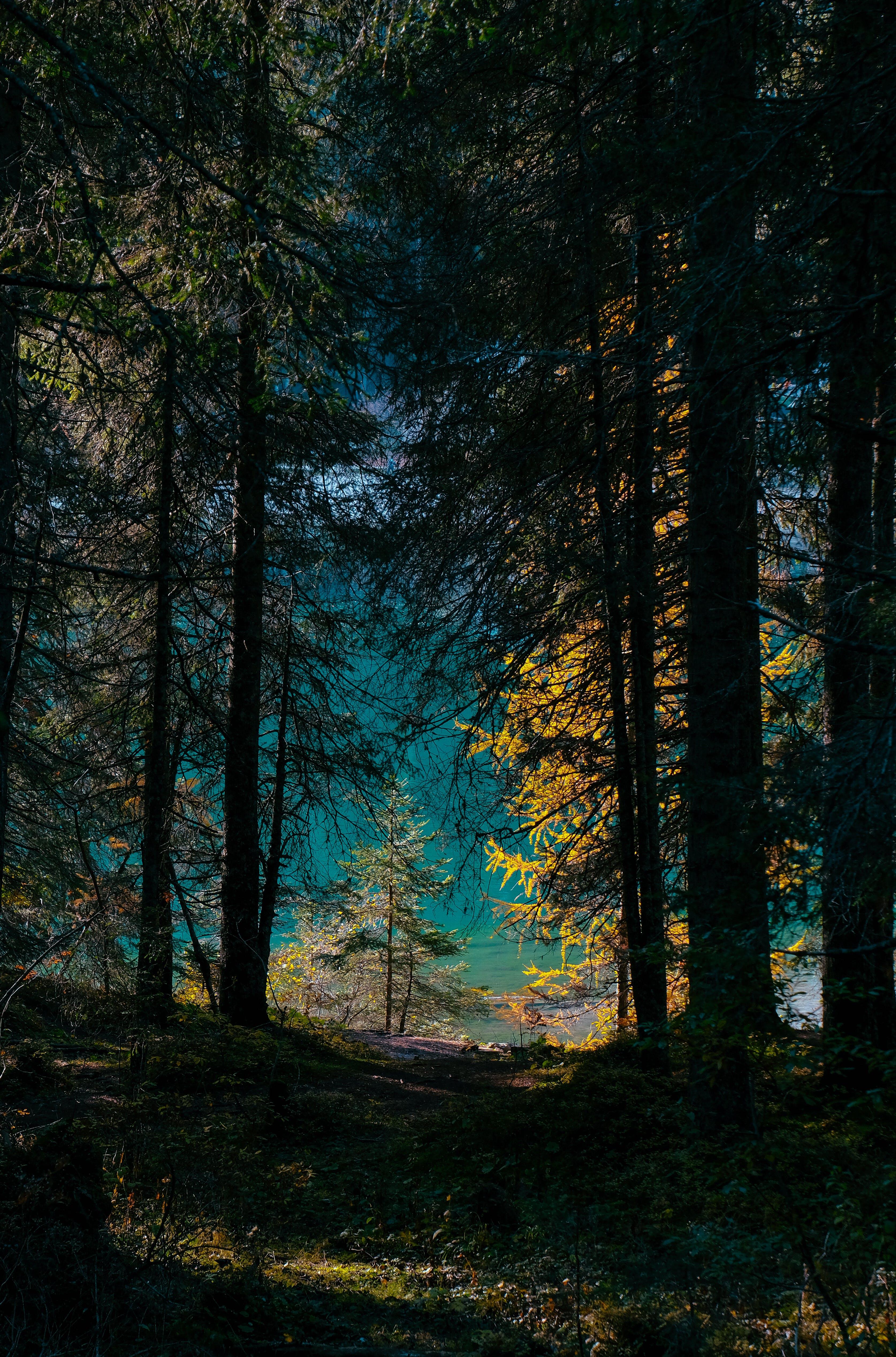 Ingyenes stockfotó békés, erdő, fák, fenyőfák témában