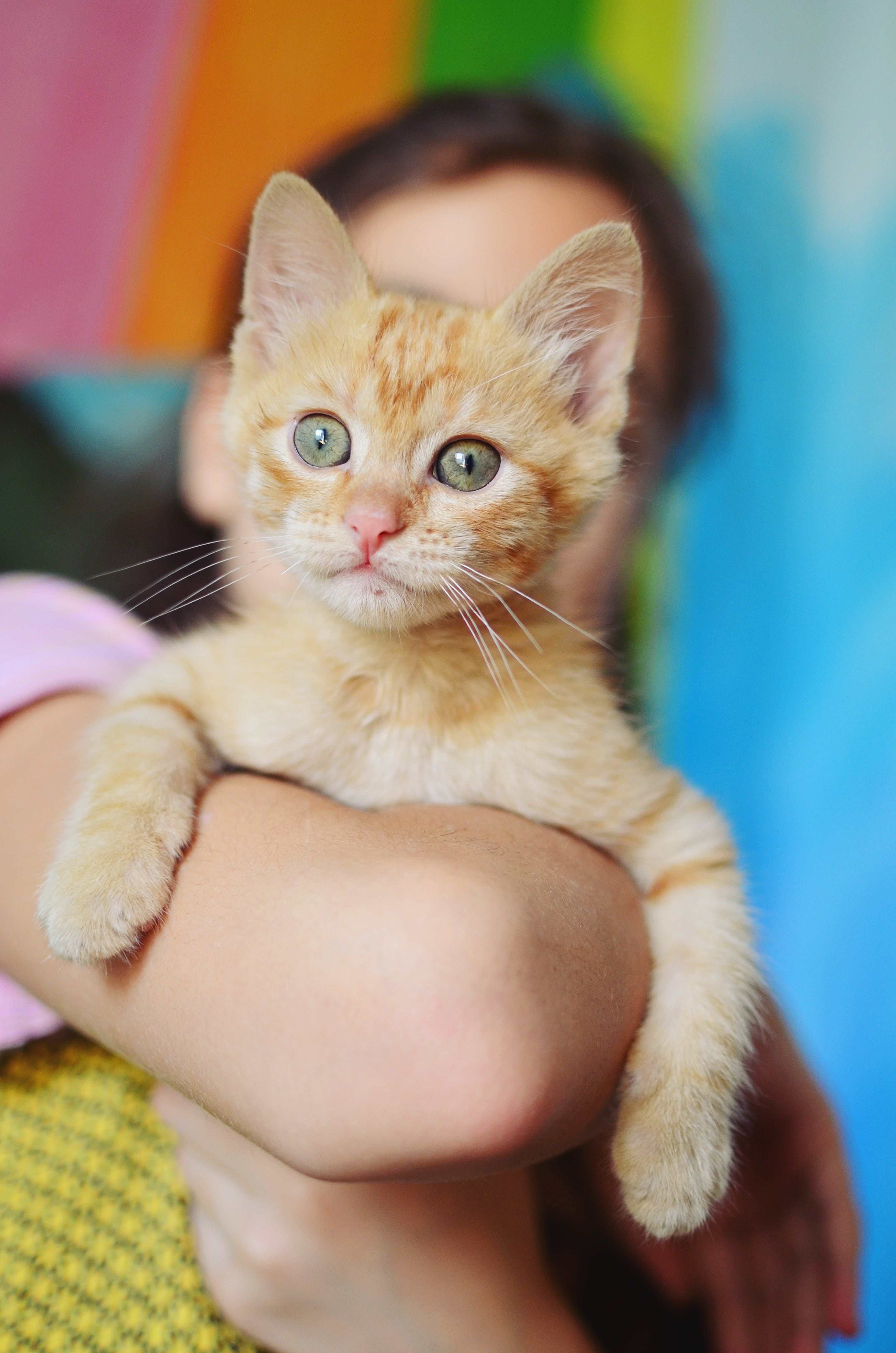 Free stock photo of colourful, cute, kitten, orange