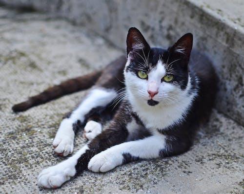 貓, 黑與白 的 免费素材照片