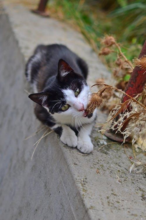 Foto d'estoc gratuïta de blanc i negre, divertit, gat