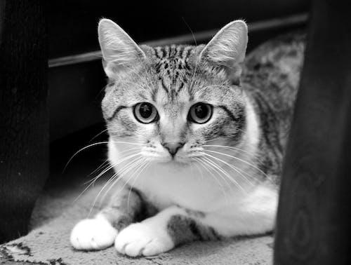 Foto d'estoc gratuïta de blanc i negre, foto vertical, gat, interior