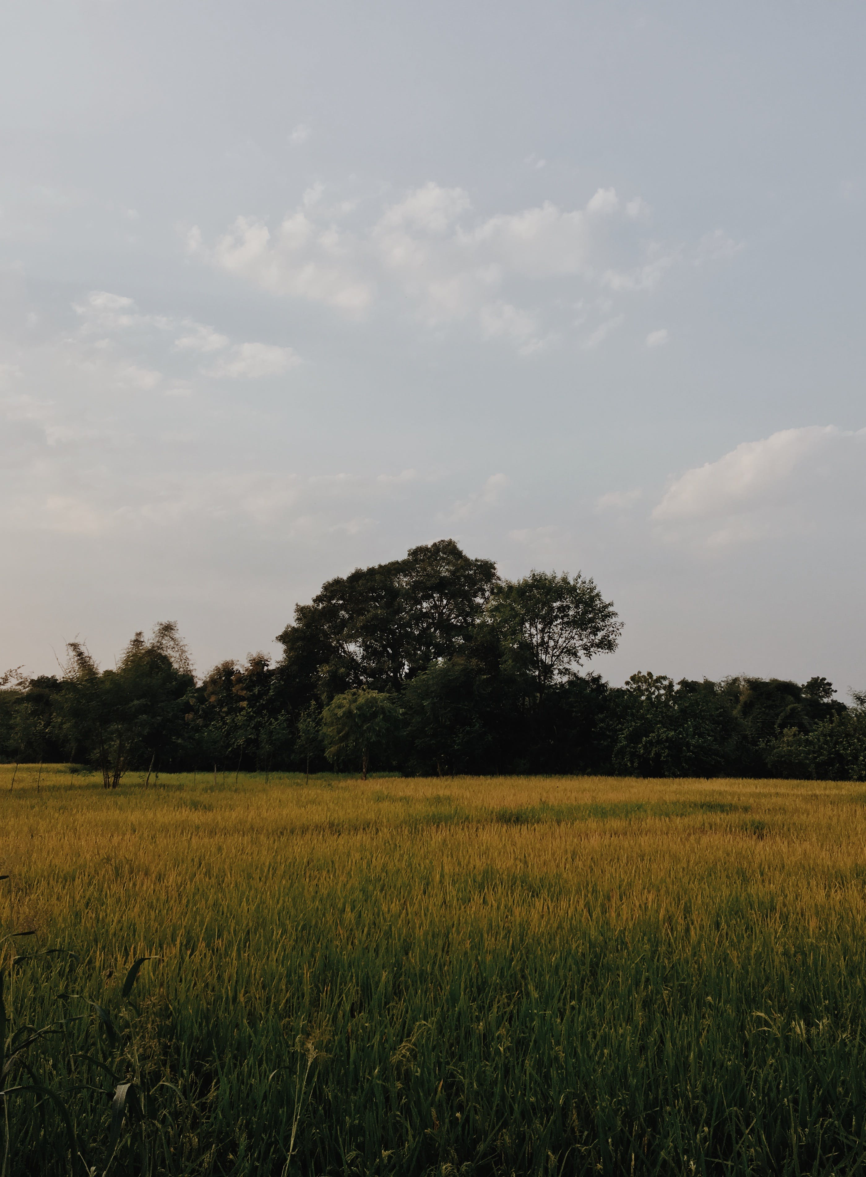 Free stock photo of farm, grass, blue sky, big trees