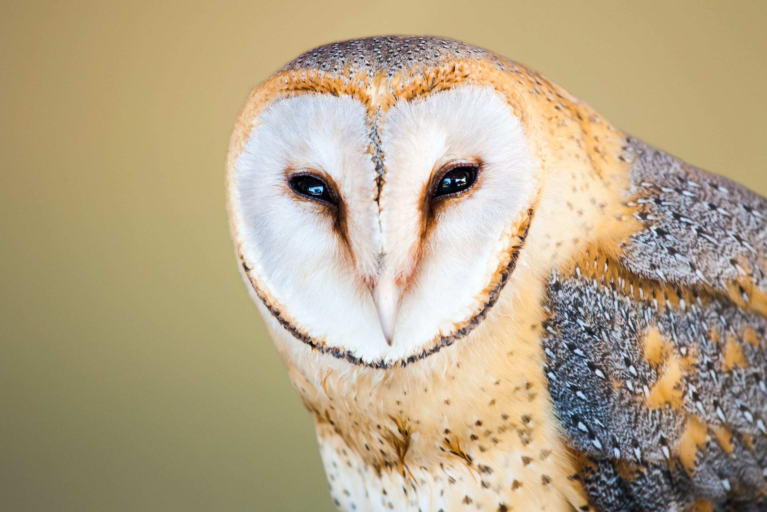 Beige and Gray Barn Owl