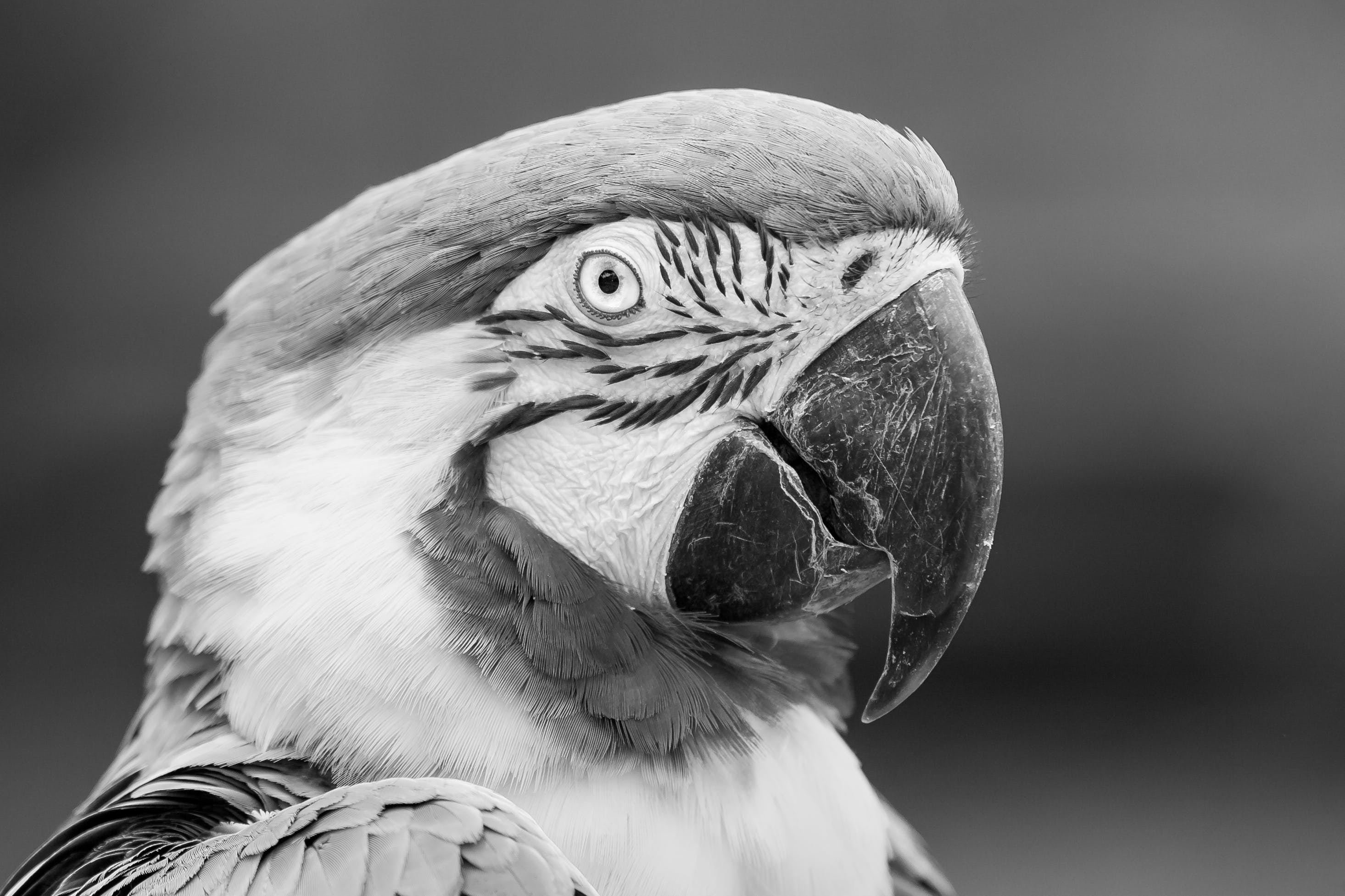 Grayscale Photography of Parrot