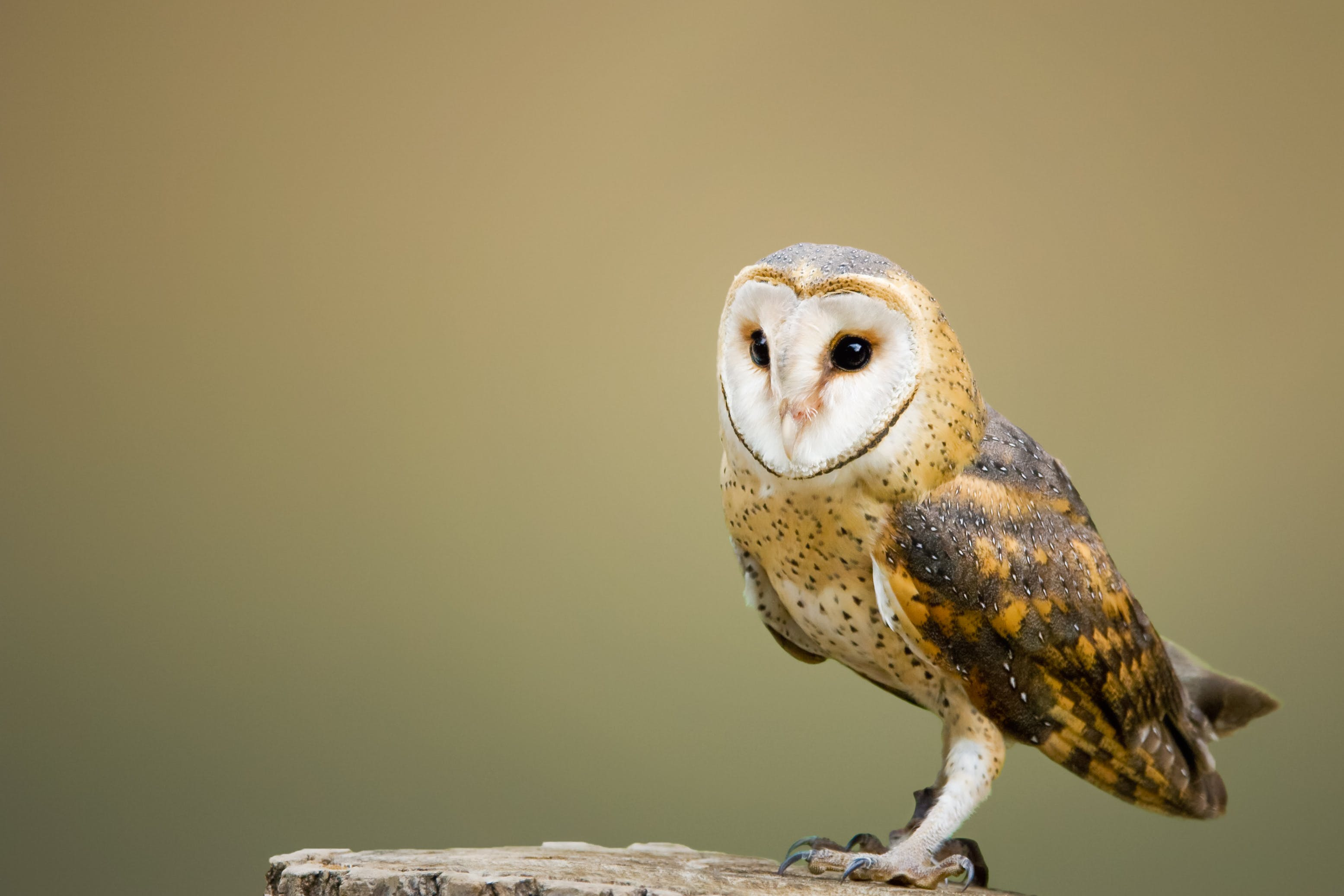 Beige and Brown Owl on Top of Tree Log